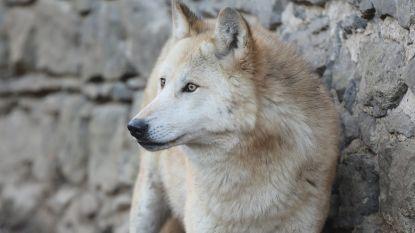 Pairi Daiza verwelkomt eerste wolvenroedel, en jullie mogen de namen van de welpjes kiezen