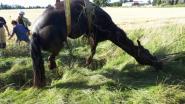 Brandweer helpt gevallen paard weer recht met hijskraan
