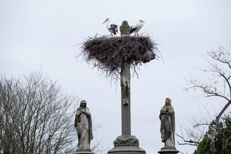 Ooievaars nestelen zich bovenop het kruis van het kerkhof van Muizen.