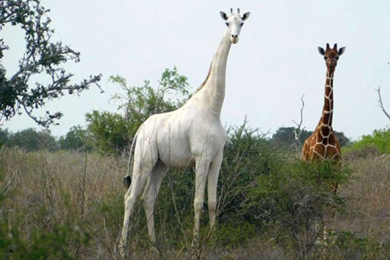 De witte vrouwtjes-giraf die in maart dit jaar dood werd teruggevonden in het natuurgebied Ishaqbini Hirolat in Kenia. Beeld AFP