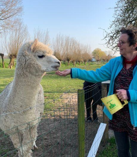 De witte alpaca van Mattie trekt veel bekijks, desnoods door zich dood te houden