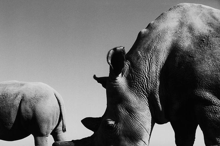 Najin en Fatu, de laatste overgebleven noordelijke witte neushoorns op aarde. Beeld Jack Davison