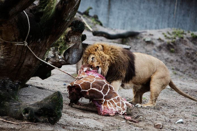 Na zijn slachting werd Marius aan de leeuwen gevoederd.