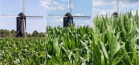 Het mais groeit in het groene Twente