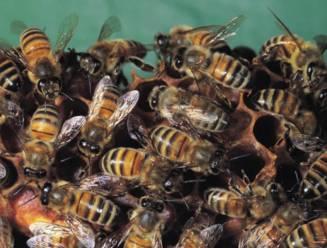 Bijensterfte nergens in Europa zo hoog als in België