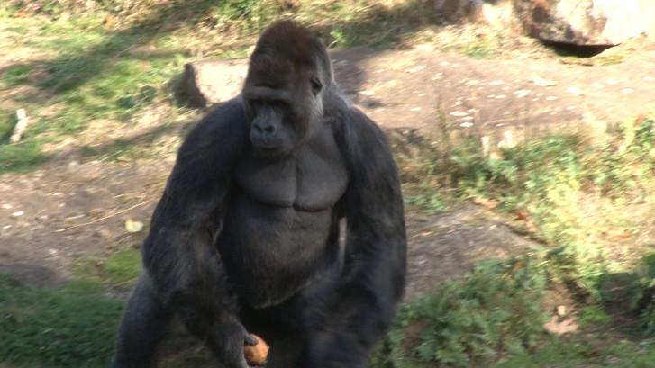 Gorillaleider Jambo moet plaatsmaken bij Apenheul voor jonge generatie
