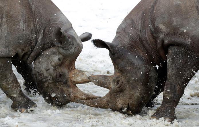 Twee Zwarte neushoorns  spelen in de sneeuw in de dierentuin van Dvur Kralove in Tsjechie. Foto:  Petr David Josek