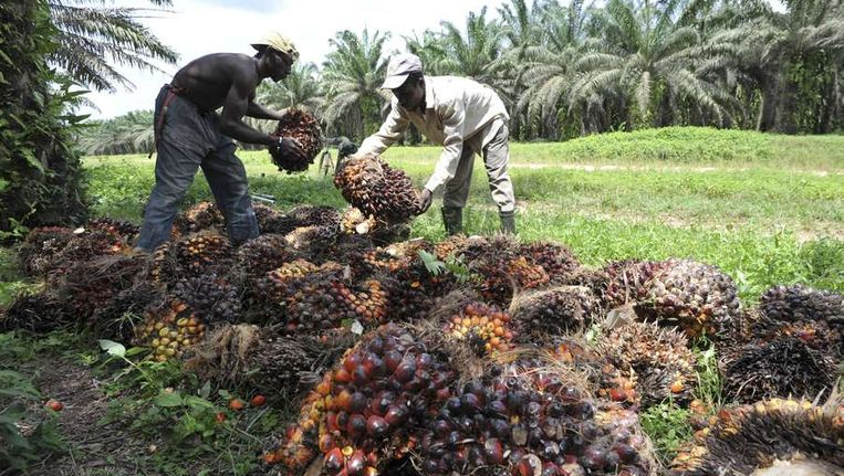 Boeren op een palmolieplantage Beeld null