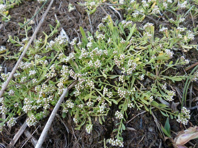 De zeldzame plantensoort 'riempjes' hebben nood aan een schoon milieu met voedselarm zand en zuiver water.