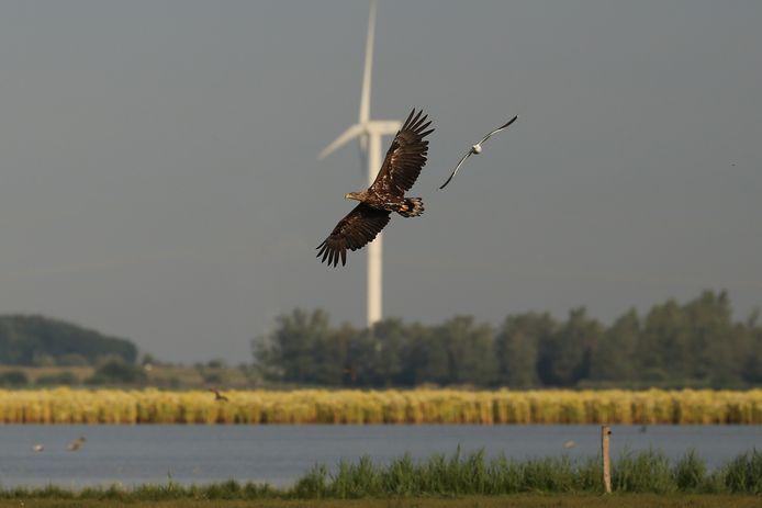 Zeearenden worden soms in stukken gehakt door windmolens, waarschuwt Stichting Valouwe Natuur, die een petitie is gestart tegen de komst van nieuwe wind- en zonneparken op de Noord Veluwe.