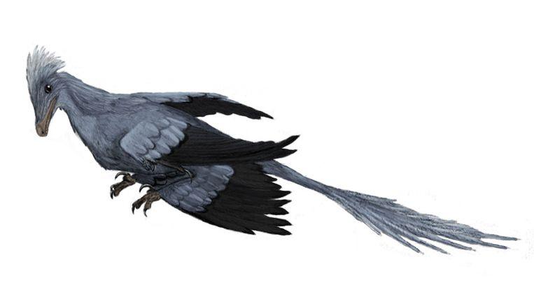 De Microraptor. Beeld Wikipedia/Dinoguy2