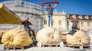 Pompoenen van 1.000 kilo! Beste pompoenkwekers van Europa komen allemaal uit Kasterlee