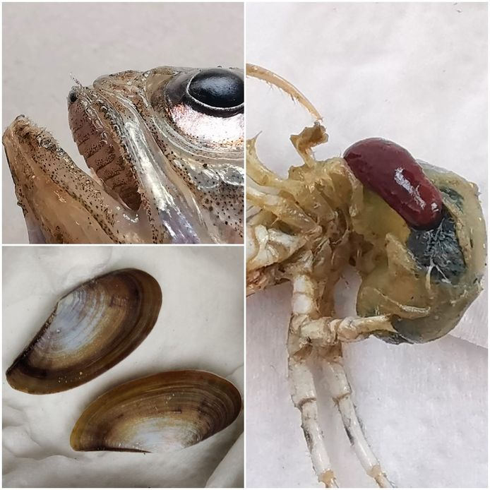 Deze drie diersoorten werden in Koksijde gevonden. Ze duiken voor het eerst in ons land op.