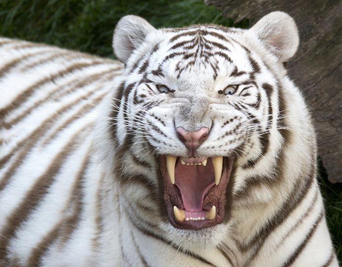 Een witte tijger in een ander dierenpark.