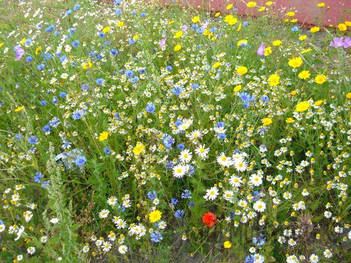 In Grobbendonk wordt vanaf deze week gratis bloemenzaad verdeeld