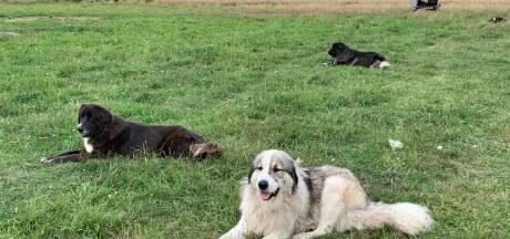 Deze honden jagen wolven weg, maar zijn 'niet geschikt als huisdier'
