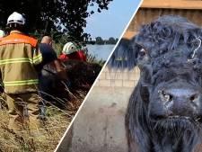 Video van de Dag | Hoe koe Leonarda 12 na een wilde reis 90 kilometer verderop aanspoelde, ongeschonden