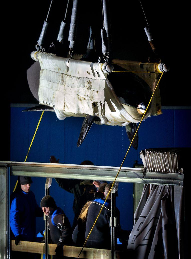 2011-11-29 HARDERWIJK - Orka Morgan wordt in het Dolfinarium in Harderwijk in een vrachtwagen getakeld. Morgan vertrekt naar Loro Parque op Tenerife. ANP KOEN VAN WEEL Beeld ANP
