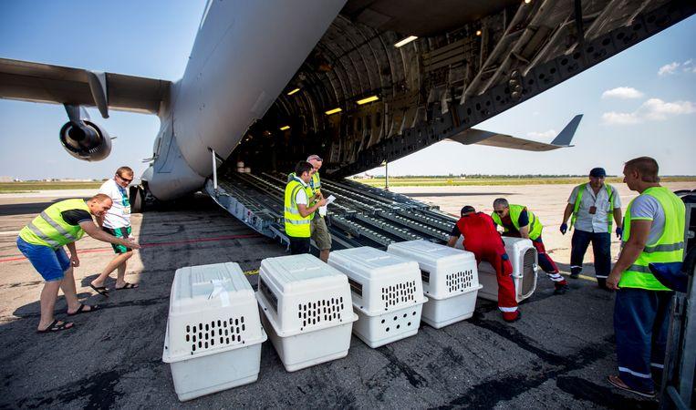 Speurhonden bij de vliegramp MH17 worden in een transporttoestel gezet, 2014. Beeld ANP