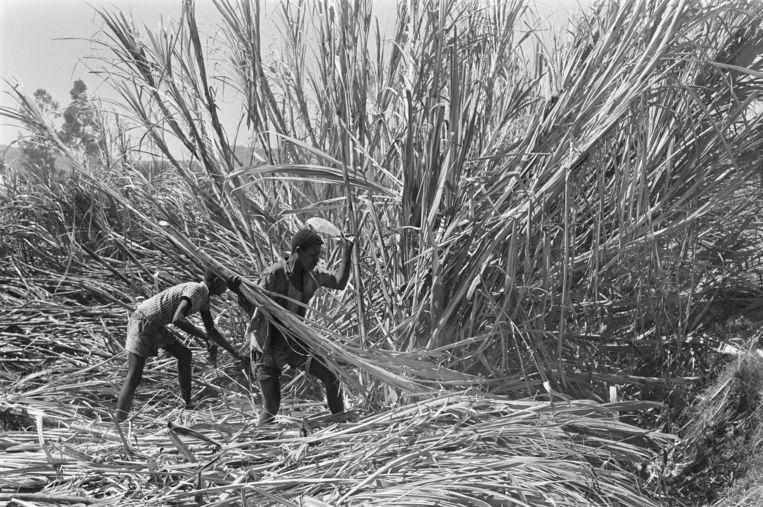 Arbeiders aan het werk op de suikerrietplantage van de HVA in Wonji, 1969.  Beeld Anefo