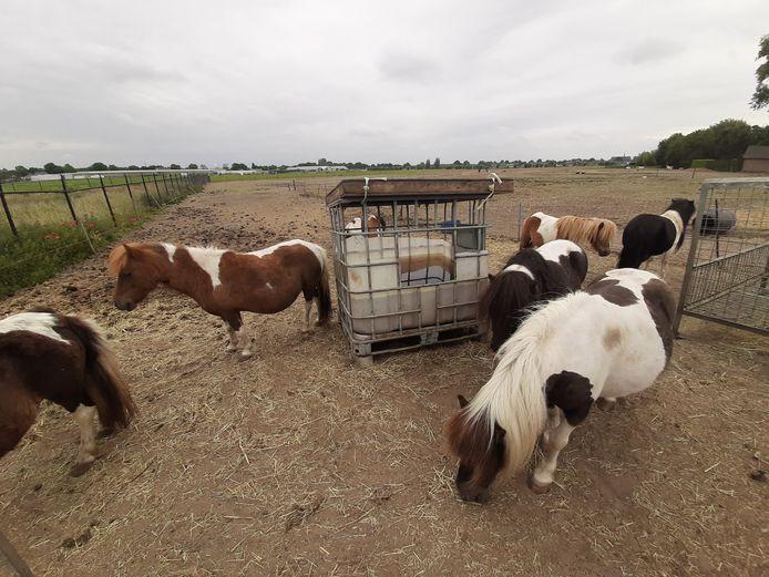 In een weide aan de Inlaagdijk worden volgens omwonenden een groot aantal paarden/pony's ernstig verwaarloosd. Langs de lant van de weg ligt een dode pony onder een zeil.