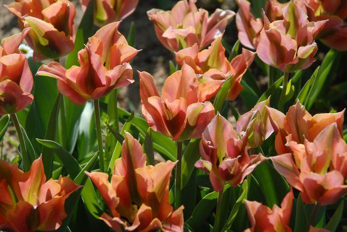 Gevlamd: Tulipa Viridiflora.