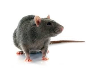 """Buurtbewoners zijn aanhoudende rattenplaag aan Heikant beu: """"Hoe erg het is? Ik heb passanten ze eens horen tellen. Na 26 gaven ze het op"""""""
