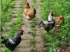 Vakantiedumpseizoen is weer begonnen: kippen over de heg van kinderboerderij Hengelo gegooid
