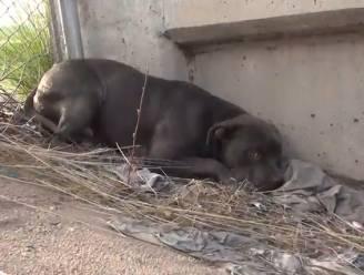 Zie hoe angstige en eenzame pitbull voor het eerst liefde krijgt