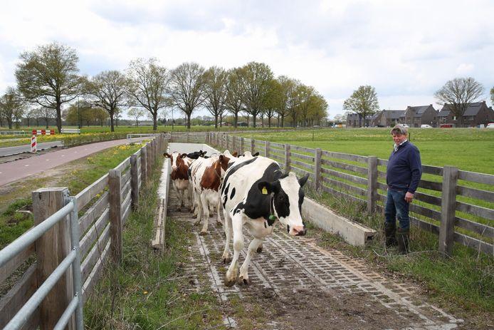 Adrie Scheepers kijkt toe hoe zijn koeien via de tunnel de wei in lopen.