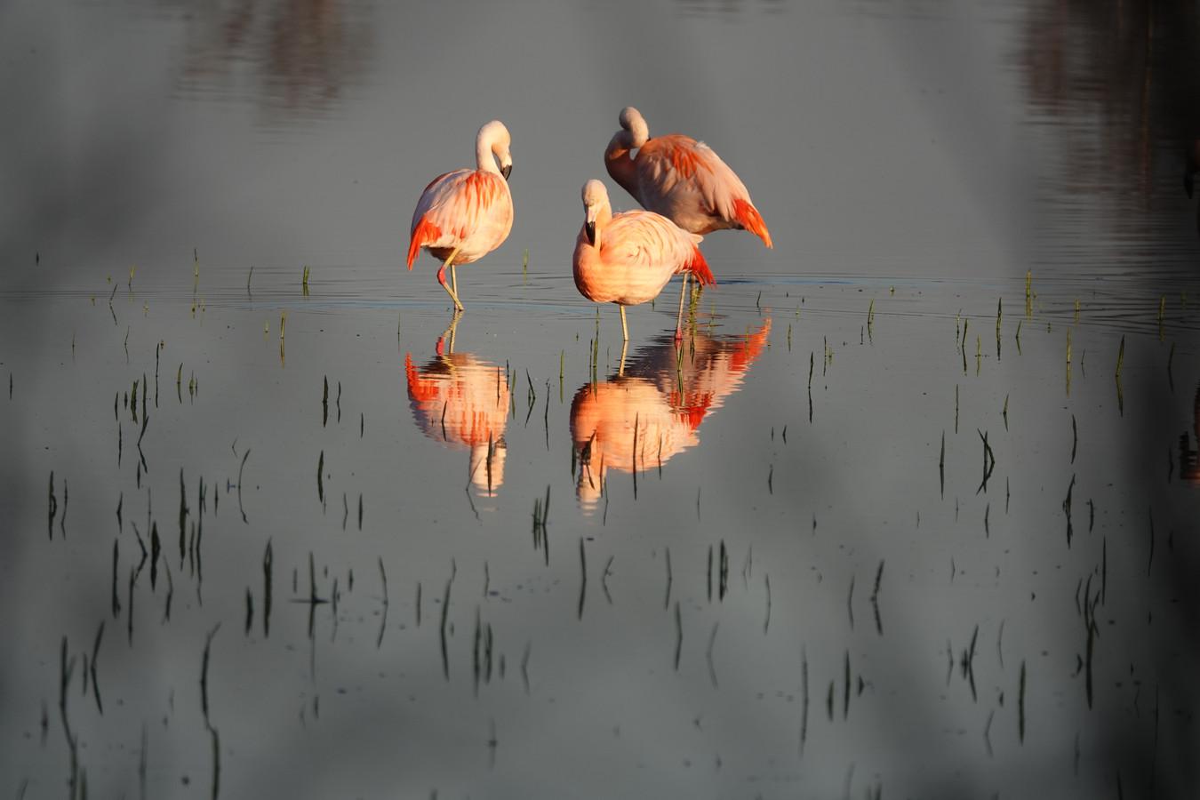 Flamingo's in het Zwillbrocker Venn.