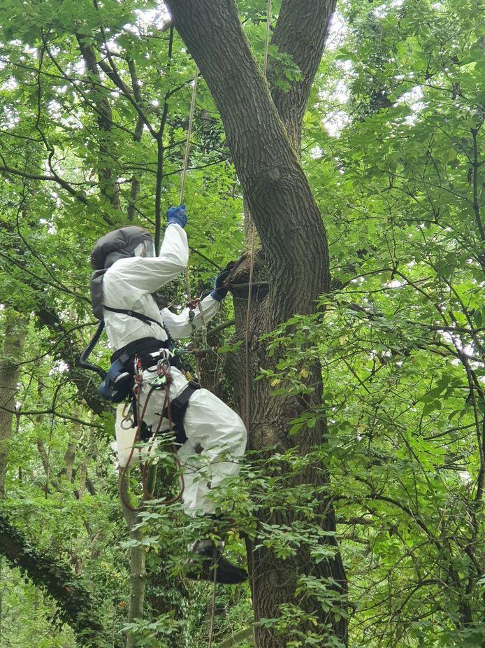 Bestrijding van rupsen in een eikenboom.