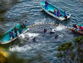 Japan opnieuw gestart met jaarlijkse dolfijnenjacht
