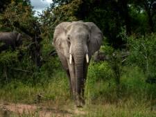 """L'éléphant de forêt d'Afrique en """"danger critique d'extinction"""""""