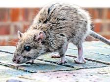 Oldebroek plaatst vangkooien in strijd tegen bruine rattenplaag Oosterwolde