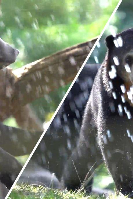 Maleise beren in Burgers' Zoo zoeken de verkoeling op