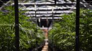 Vier Iraniërs in cel na ontdekking drie cannabisplantages