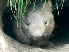 Nederlandse primeur voor BestZOO: Australische wombats zijn nieuwe inwoners