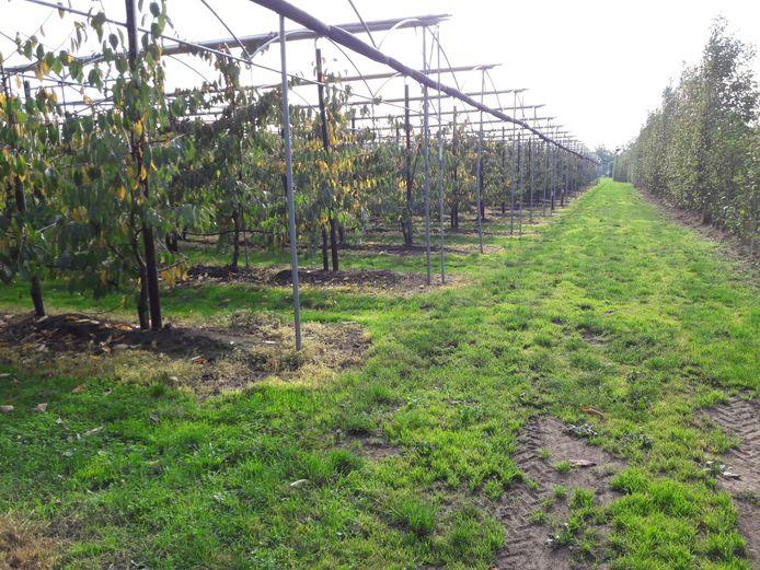 Een kersenboomgaard met werkpad ernaast, in Heeswijk-Dinther.