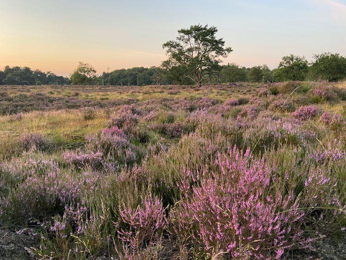 De Kalmthoutse Heide staat in bloei