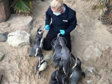 Sea Life vraagt donaties: 'Onze pinguïns eten 35 kilo vis per week'
