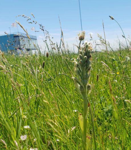 'Uitspraken van waterschapsbestuurder Marien Weststrate over maaien van zeldzame bloem in Vlissingen zijn ongepast'