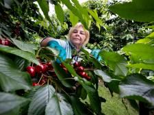 Magdalena komt om in het werk: eerste Mierlose kersen klaar om te oogsten