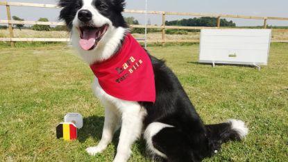 """Afgerichte hond uit Kaggevinne vertegenwoordigt België op het WK: """"Lara is gehoorzaam en leeft als een topsporter"""""""