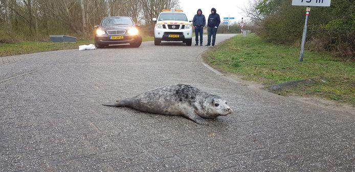 Grijze zeehonden op de Brouwersdam