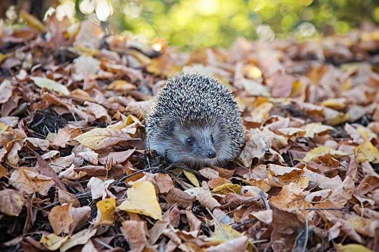 european-hedgehog-walking-in-autumn-forest.jpg