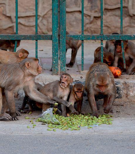 Des singes dressés pour voler de l'argent arrêtés en Inde