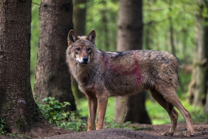 Wolven duiken steeds vaker op in Nederland