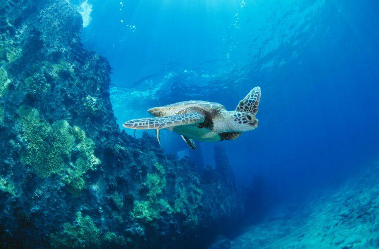 'Diepzeemijnbouw heeft negatieve effecten op de biodiversiteit en op het functioneren van ecosystemen', zegt Koen Stuyck (WWF).   Beeld BELGAIMAGE