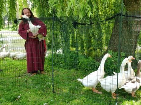 Ganzenfluisteraar herkent 60 gedumpte ganzen Wijhe meteen: 'Die groep leeft daar gewoon...'
